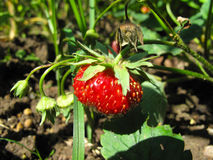 Strawberry in the garden. Red big strawberries, garden, green leaves stock image