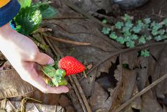 Red strawberry in the garden stock images