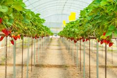 Strawberry garden Stock Photos