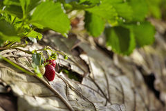 Strawberry garden in thailand. A small strawberry in sunlight Stock Image