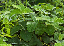 Strawberry glade background. Background of leaves of strawberry Stock Photography