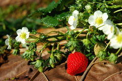 Strawberry good taste. Wild strawberry berry growing in natural environment Stock Image