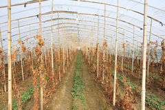 Strawberry grape Intercropping Stock Photo