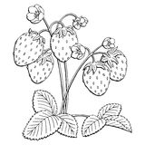Strawberry graphic bush black white isolated sketch illustration Royalty Free Stock Images
