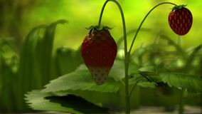 Strawberry in a grass stock video footage