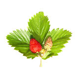 Strawberry with green leaf Stock Photos
