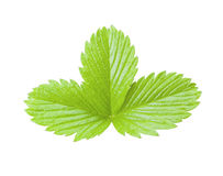 Strawberry green leaf isolated. Plant on white background.  royalty free stock photo