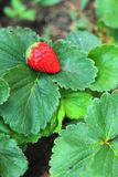 Strawberry on a green leave background in a garden. Stock Photography