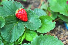 Strawberry on a green leave background in a garden. Stock Images