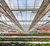 Strawberry greenhouse Royalty Free Stock Photos