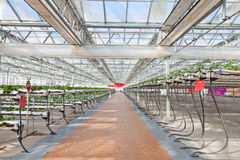 Strawberry greenhouse Stock Photography