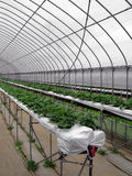 Strawberry Greenhouse Royalty Free Stock Photo
