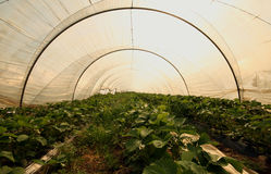 Strawberry greenhouse. Many Strawberrys in a greenhouse Stock Photo