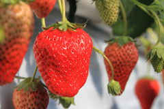 Strawberry in the greenhouse Royalty Free Stock Photography