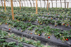 Strawberry greenhouses Stock Photos