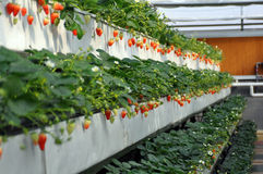 Strawberry in greenhouses Stock Images