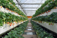 Strawberry in greenhouses Royalty Free Stock Photos