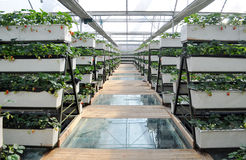 Strawberry in greenhouses Stock Photography