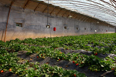 Strawberry in the greenhouses Stock Images