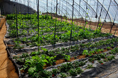 Strawberry in the greenhouses Royalty Free Stock Photos