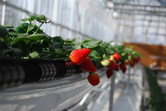 Strawberry in greenhouses Royalty Free Stock Photo