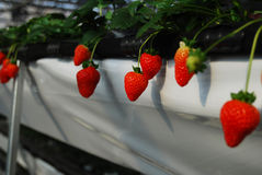 Strawberry in greenhouses Stock Image