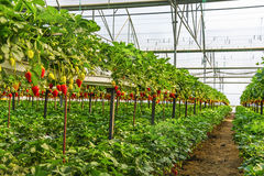Strawberry greenhouses Royalty Free Stock Image