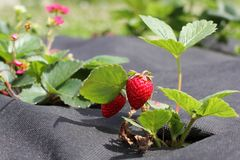 Strawberry groving in garden Stock Images