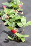 Strawberry groving in garden Stock Photo