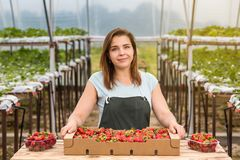 Strawberry growers with harvest,Agricultural engineer working in Stock Image