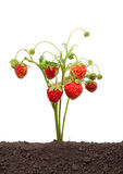Strawberry growing Royalty Free Stock Image