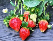 Strawberry growing Stock Image
