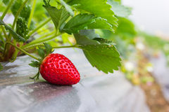 Strawberry. Growing in a garden Royalty Free Stock Images