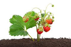 Strawberry growing out of the soil Royalty Free Stock Images
