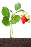 Strawberry growing out of the soil Stock Images