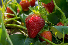 Strawberry Growing on Plant. Red strawberries ripen on plants in a farm in Georgia stock photography