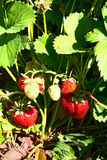 Strawberry growing on vegetable garden Royalty Free Stock Photos