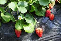 Strawberry grown up Royalty Free Stock Photography