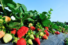 Strawberry in growth. At garden Stock Images