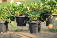 Strawberry growth at garden Stock Photography