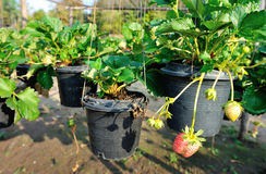 Strawberry growth at garden Royalty Free Stock Photo