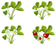 Strawberry growth phases Royalty Free Stock Images