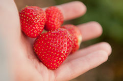 Strawberry in hand Royalty Free Stock Photos