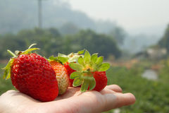Strawberry on hand Stock Photography