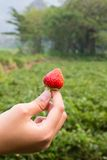 A strawberry in hand Royalty Free Stock Images