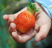Strawberry in hand Stock Images