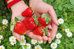 Strawberry in hand royalty free stock photo