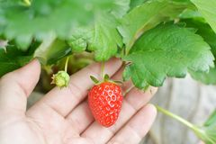 Strawberry in hand. Fresh strawberry in woman hand royalty free stock photography