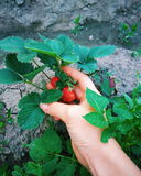 Strawberry. A hand, holding strawberry Royalty Free Stock Photo