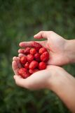 Strawberry in hands Royalty Free Stock Photography